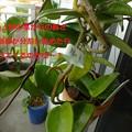No1鉢の花芽の茎