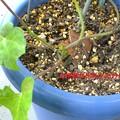 土用芽発見