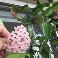 桜ラン2鉢の花のコラボ