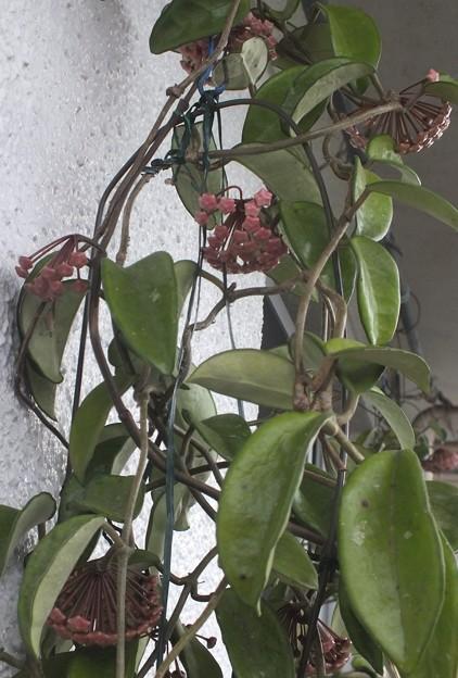 桜ラン1号鉢