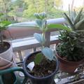 枝葉の成長が遅いので鉢のサイズアップ
