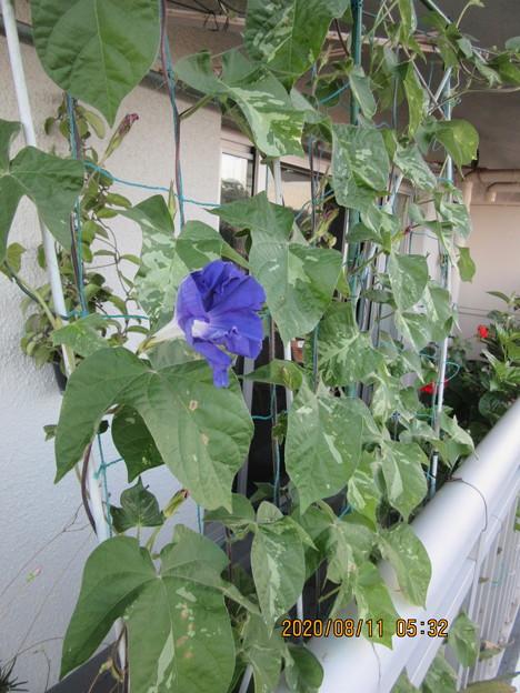 蒔いて2か月でやっと開花