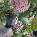Photos: 桜ラン、2鉢目