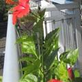 Photos: 毎日連続して咲きだしています。