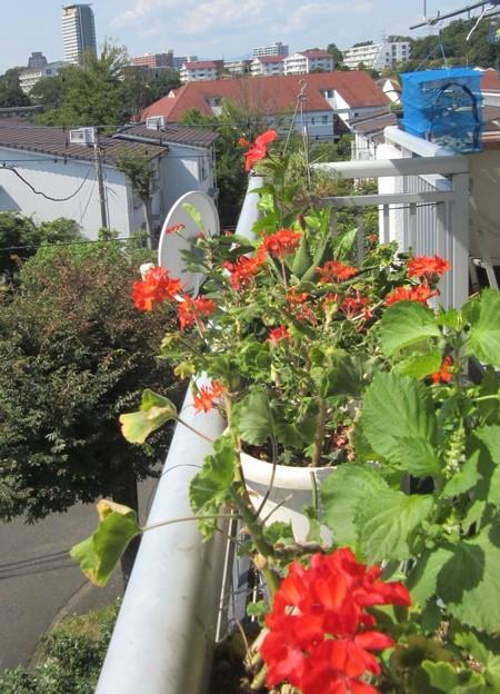 ゼラニュームはかなり花が減りました。