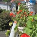 Photos: ゼラニュームはかなり花が減りました。