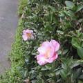 Photos: ピンク一重