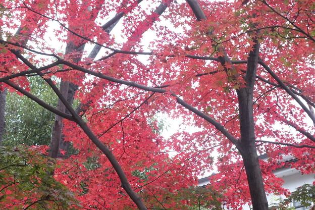 葉っぱのサイズの小さいモミジ