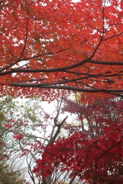 モミジの紅葉には枝葉の重なり具合で差が出ます