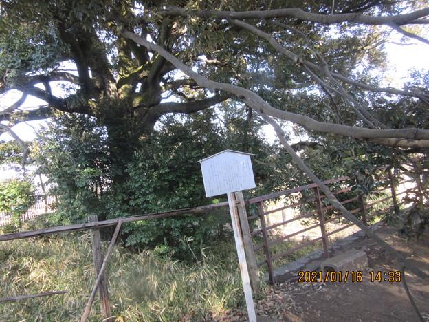 Photos: 一本杉公園のスダジイ