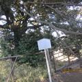 一本杉公園のスダジイ