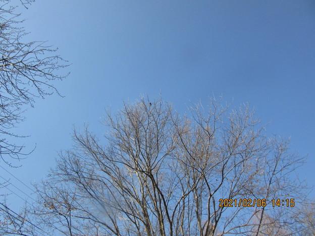 大木のてっぺんにコゲラ