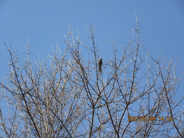 木の枝をつついて渡り歩いていた