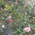 赤白交じり斑入り大輪八重咲椿