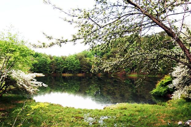 湖畔に咲くズミの花