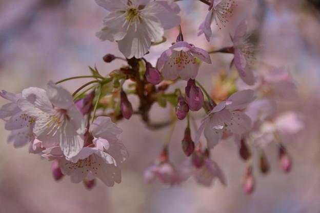 大寒桜 ♪