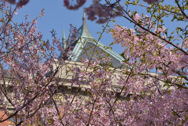 名古屋市政資料館の大寒桜~♪