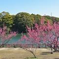 写真: 佐布里池と梅~♪