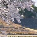 修理中の石垣と桜~♪
