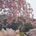 桜の花びらを~♪