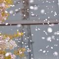 桜の花びら~♪