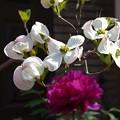 写真: 昨年の花水木と牡丹~♪