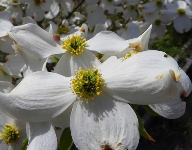 花水木の蕊にも~♪
