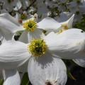 Photos: 花水木の蕊にも~♪