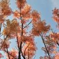 写真: 香椿(チャンチン)の新芽~♪