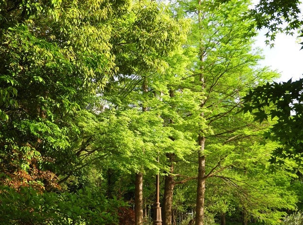 Photos: 香椿(チャンチン)は緑に~(ーー;)