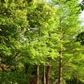 写真: 香椿(チャンチン)は緑に~(ーー;)