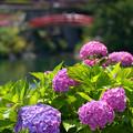 写真: 赤い橋と紫陽花~♪