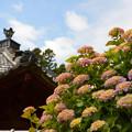写真: お寺のあじさい~♪