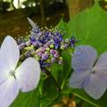写真: お城の紫陽花~♪