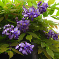 写真: 初夏に咲いている藤~♪