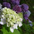 お城の紫陽花~♪