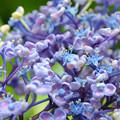 写真: 紫陽花~♪
