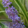 Photos: 藪蘭 咲き出し~♪
