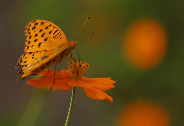 きばなこすもすと 蝶~♪