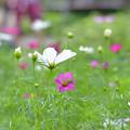 写真: 秋桜~♪