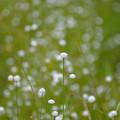 白玉星草~♪