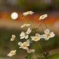 写真: 秋明菊~♪