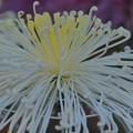 中心が黄色の糸菊~♪