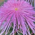 ピンクの糸菊~♪