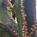 写真: 蔦の紅葉~♪