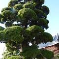 写真: 名古屋市保存樹 イブキ~♪