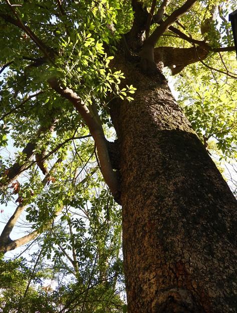 名古屋市保存樹 タブノキ~♪
