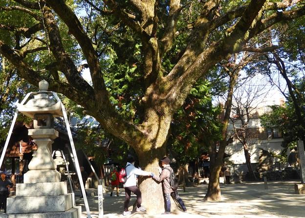 名古屋市保存樹 クスノキ~♪