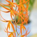 写真: ブラシアダ オレンジデライト~♪