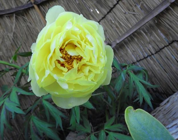 寒牡丹 黄色~♪